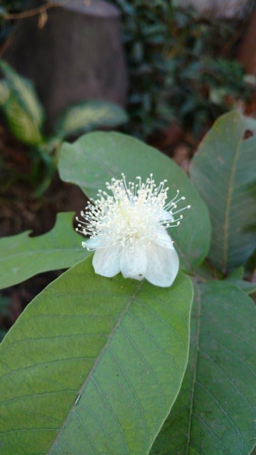 Guavebloem met bladeren stock foto