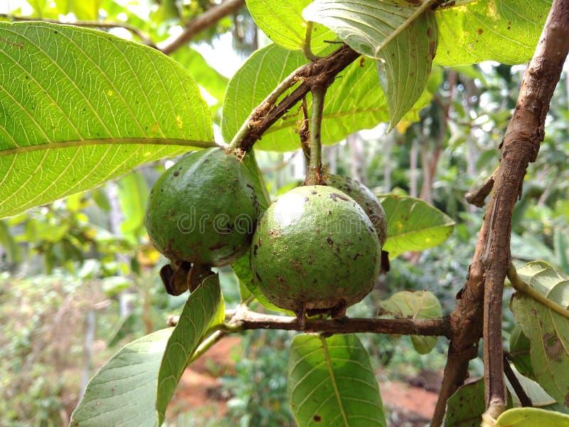 Guavefruit stock fotografie