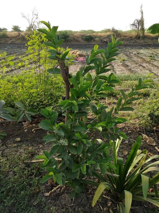 Guaven-Bäume im Bauernhof lizenzfreies stockbild