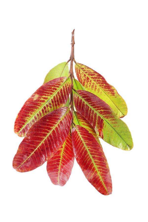 Guaven-Blätter stockbilder