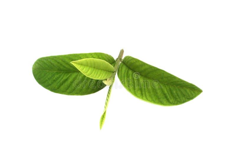 Guaven-Blätter stockfotos