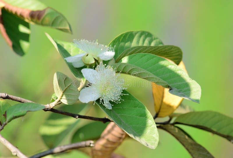 Guavenblumen, Guavenblumen blühen auf Bäumen lizenzfreie stockfotografie