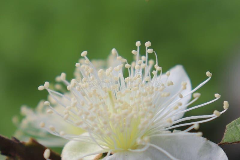 Guavenblumen, die blühen, die Staubgefässe, die so wohlriechend sind lizenzfreie stockfotos