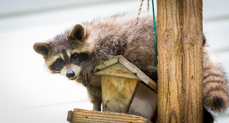 Guaxinim & x28; Lotor& x29 do Procyon; em um alimentador do pássaro, Ontário oriental O mamífero mascarado procura e encontra uma foto de stock