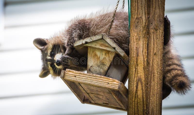 Guaxinim & x28; Lotor& x29 do Procyon; em um alimentador do pássaro, Ontário oriental O mamífero mascarado procura e encontra uma fotos de stock