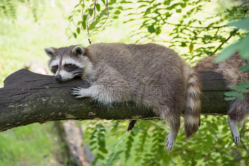 Guaxinim que descansa em um ramo de árvore em um dia morno imagens de stock royalty free