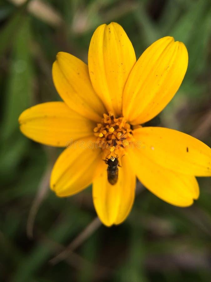 Gubi w górę pszczoły zbiera nektar na żółtym kwiacie fotografia royalty free