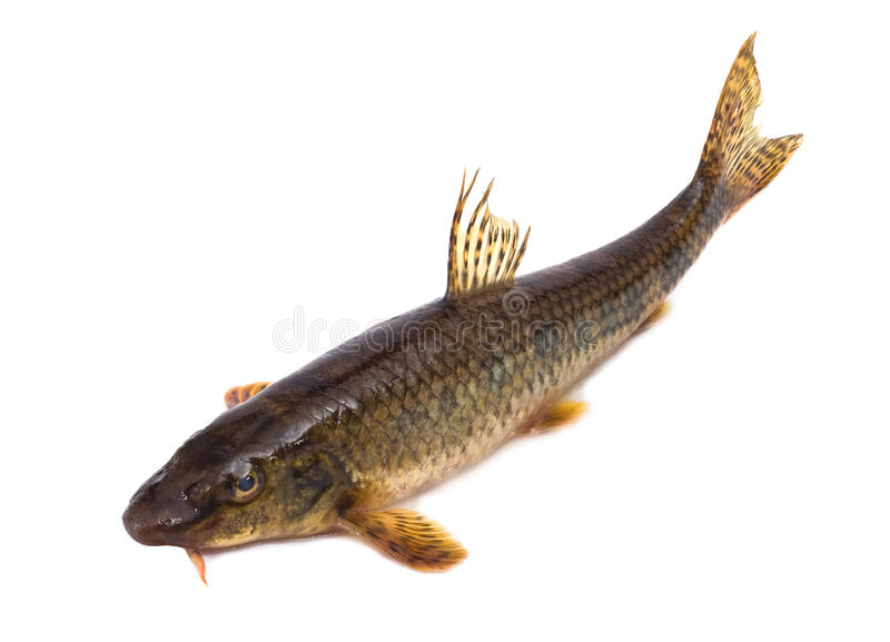 Gudgeon stock photo
