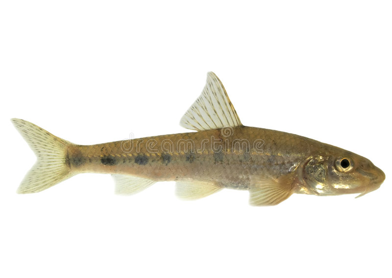 Gudgeon (fish) - isolated. Live fish photo in aquarium royalty free stock photos