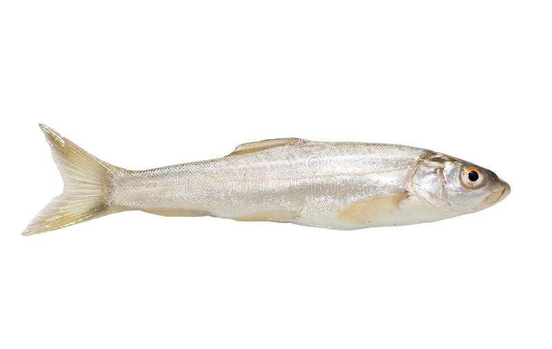Gudgeon fish on a white background royalty free stock photos