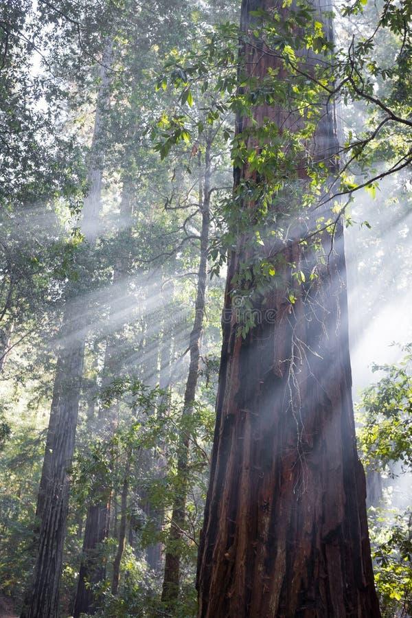 Gudstrålar i redwoodträdträd arkivbild