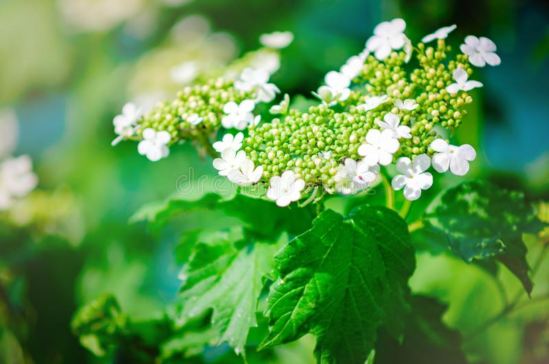 Guelder aumentou - opulus do Viburnum Close-up, foco seletivo imagem de stock