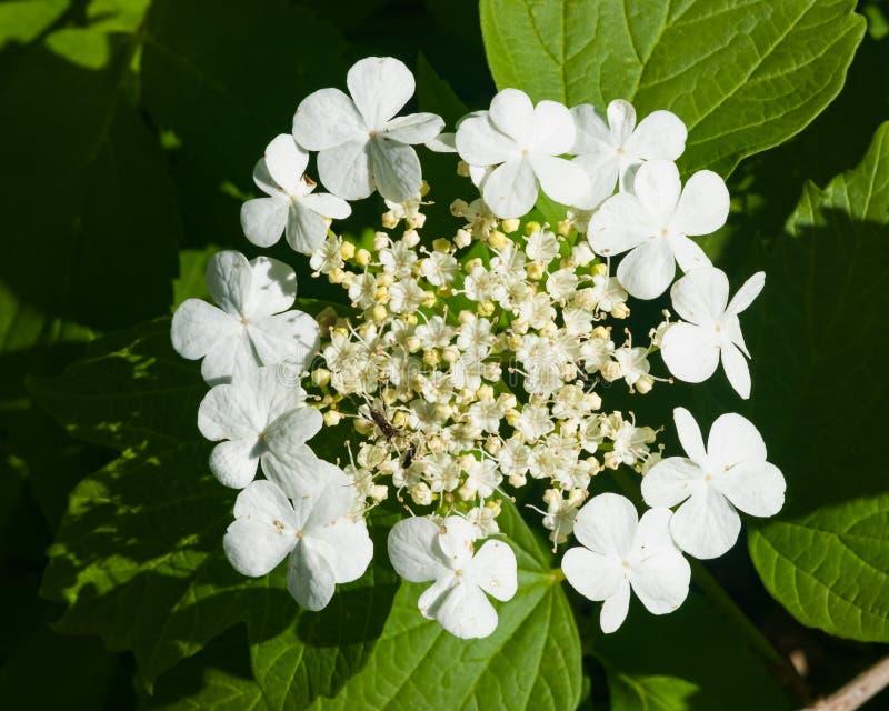 Guelder de florescência aumentou, opulus do Viburnum, flores e brota o close-up, foco seletivo, DOF raso fotos de stock royalty free