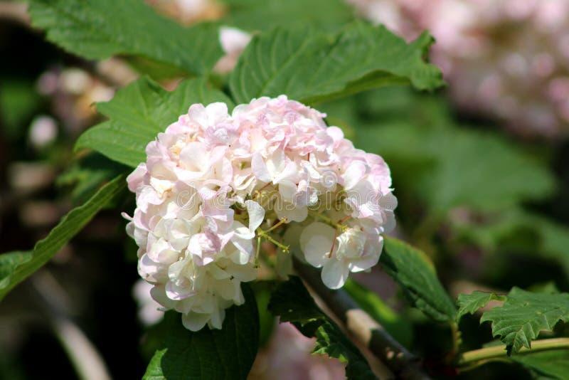 Guelder-rosa o palla di neve di opulus di viburno grande come i fiori bianchi fotografia stock libera da diritti