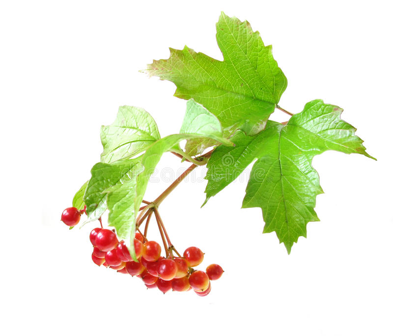 Guelder-rose. Branch of a guelder-rose with berries, isolated on a white background stock photography