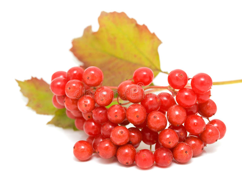 Guelder-rose. Branch isolated on a white background royalty free stock images