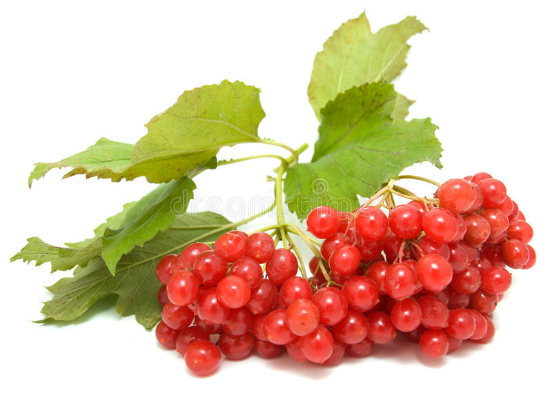 Guelder-rose. Branch isolated on a white background royalty free stock photos