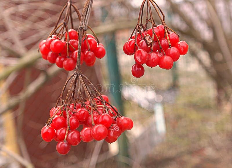 Download Guelder rose berries stock photo. Image of harvesting - 24168506