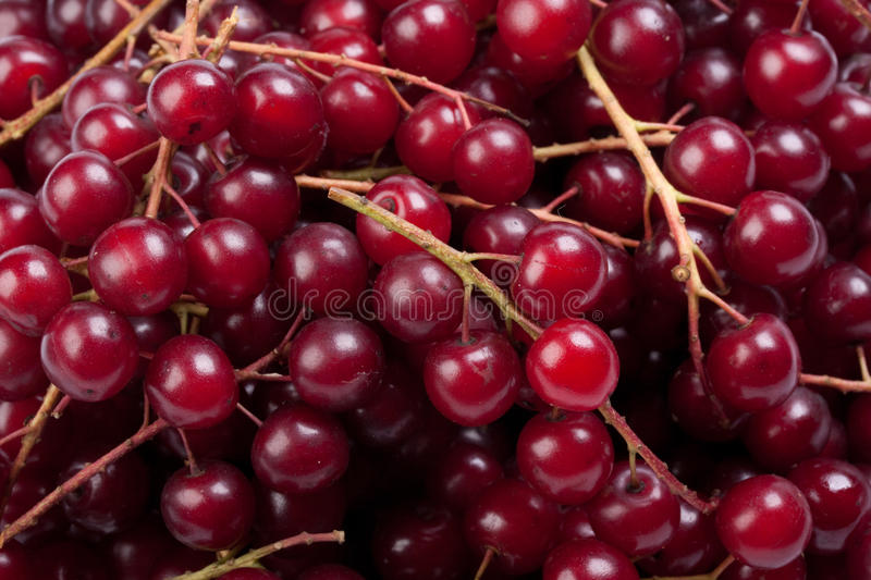 Guelder-rose berry. Background from red berries of a guelder-rose (viburnum royalty free stock photos