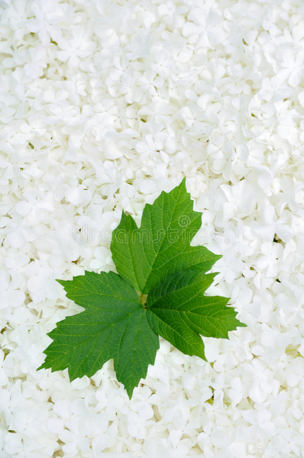 Download Guelder Rose Blossoms And Leaves - Background Stock Photo - Image of bloom, closeup: 12669576