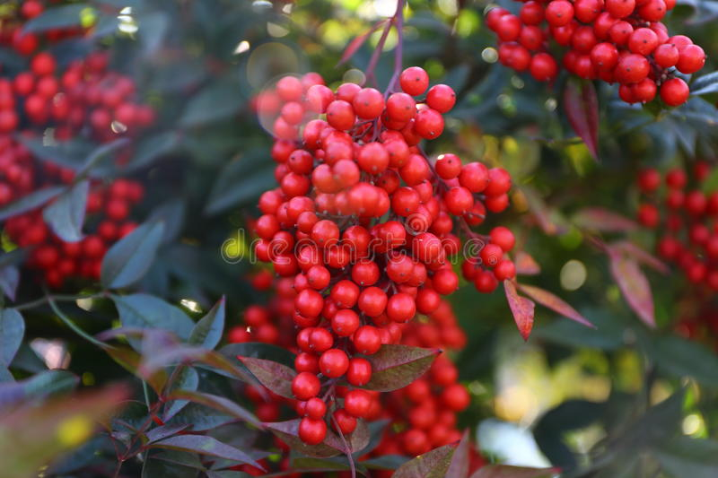 Guelder Rose. Guelder-rose branch seems very attractive with nice red color stock photo