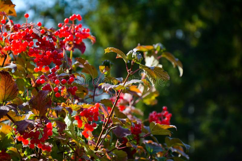Close-up of guelder rose with red bright berries and blur on background royalty free stock image
