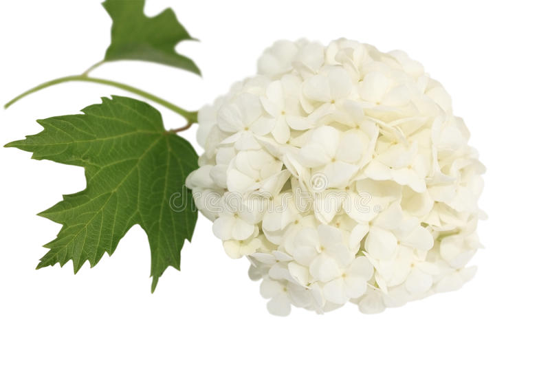 Guelder rose (snowball) royalty free stock images