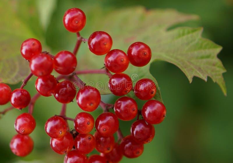 Guelder Rose (Viburnum Opulus) Berries In British Hedgerow royalty free stock photography