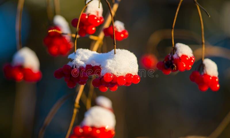 Guelder Rose berries in winter stock photos