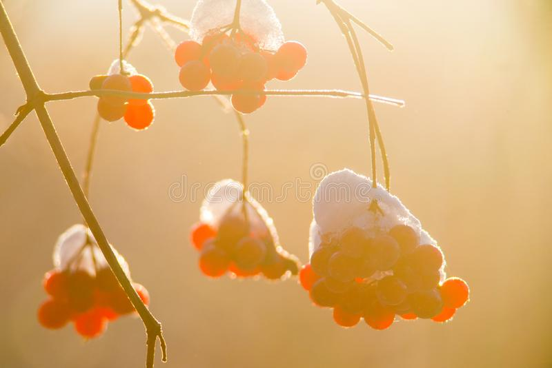 Guelder Rose berries in winter sun light royalty free stock photography
