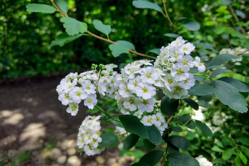 A Guelder rose Viburnum opulus , blooming in a garden royalty free stock photography