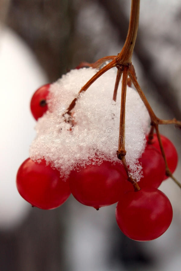 Guelder-rose Viburnum opulus. Ripe red berries of guelder-rose covered with the first snow - macro stock photo