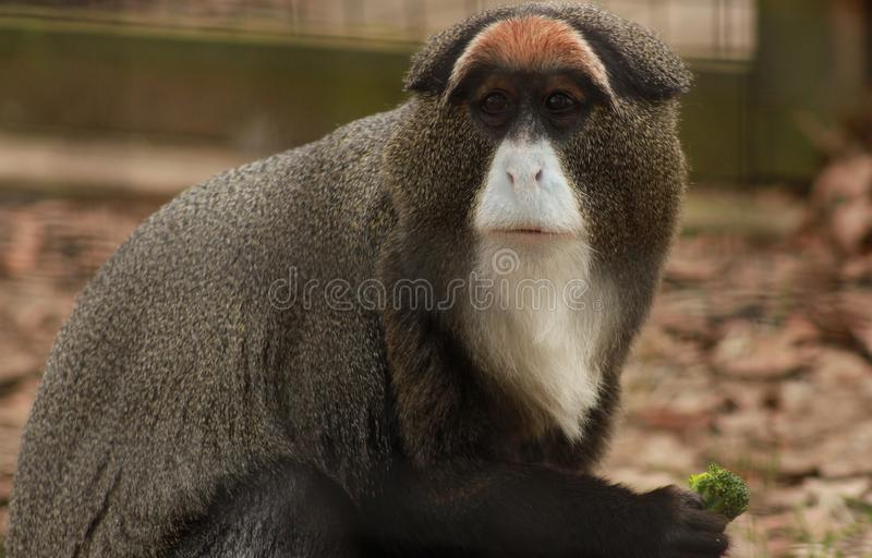 Guenon royalty free stock photos