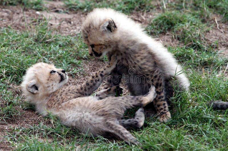 Guepardo Cubs fotos de archivo