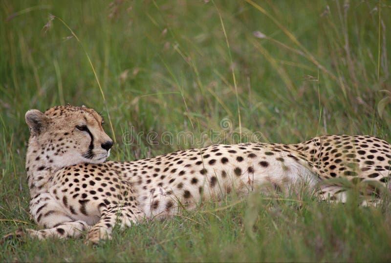Guepardo en agraciado en prados africanos foto de archivo