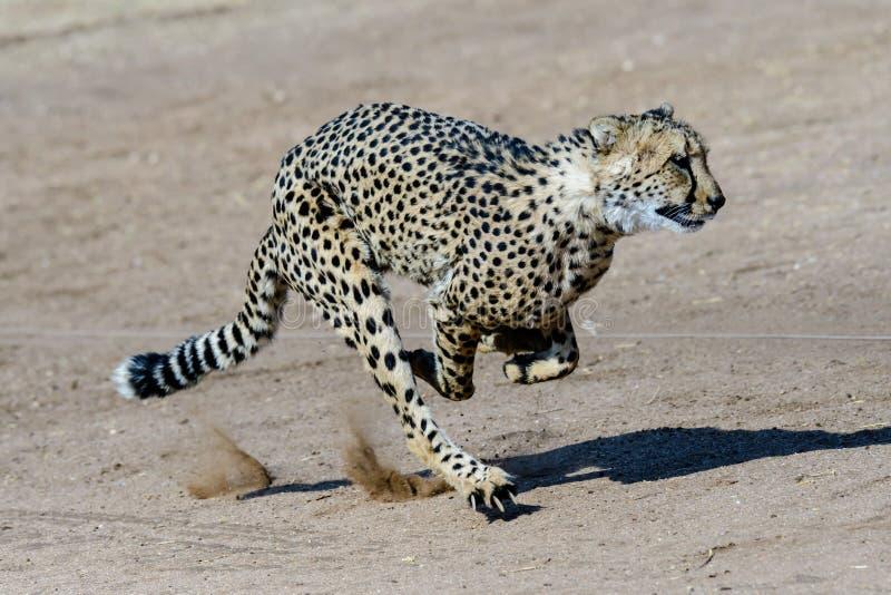 Guepardo que corre en la máxima velocidad fotografía de archivo