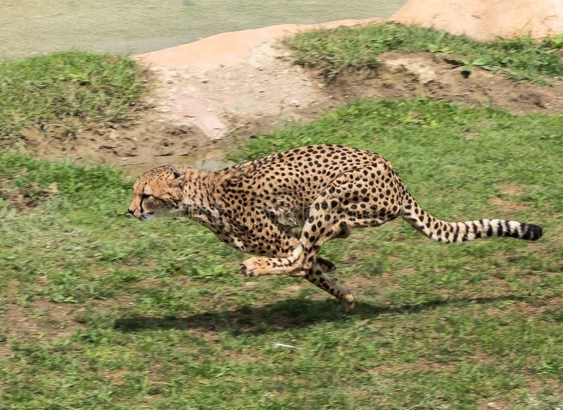 Guepardo que corre a toda velocidad jubatus del Acinonyx foto de archivo
