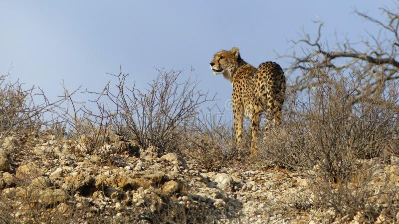 Guepardo que se coloca encima de una colina rocosa que mira alrededor foto de archivo