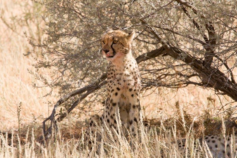Guepardo que se sienta por debajo arbusto en Kalahari foto de archivo