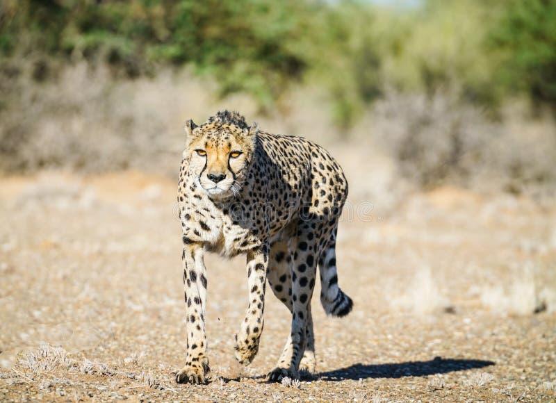 Guepardo salvaje en Namibia fotografía de archivo libre de regalías