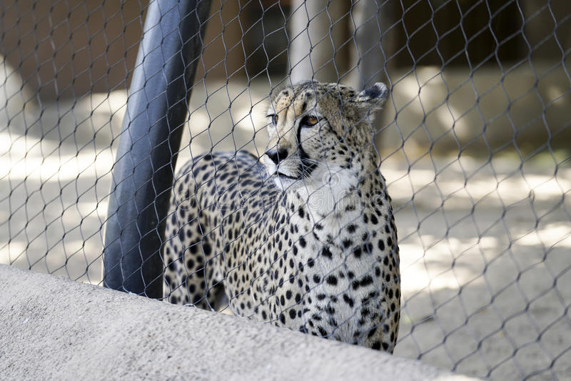 Guepardo, serie del parque zoológico fotografía de archivo libre de regalías