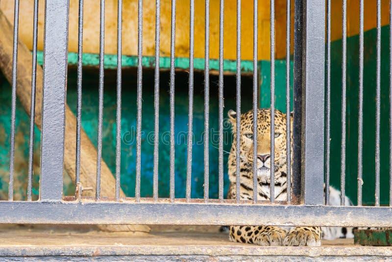 Guepardo triste que mira de la jaula Guepardo en la jaula imagen de archivo libre de regalías