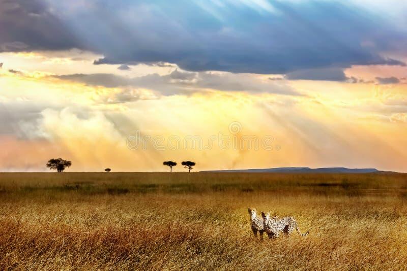 Guepardos contra un cielo hermoso en la puesta del sol en el parque nacional de Serengeti África imágenes de archivo libres de regalías