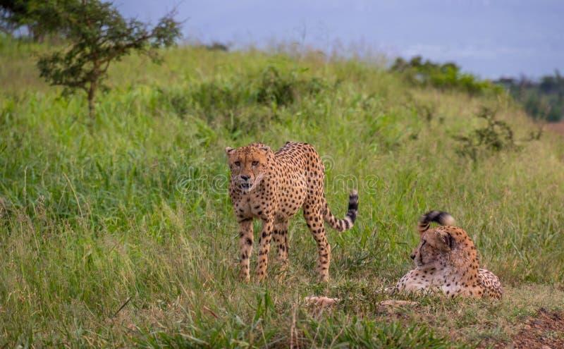 Guepardos en el desierto africano imagen de archivo