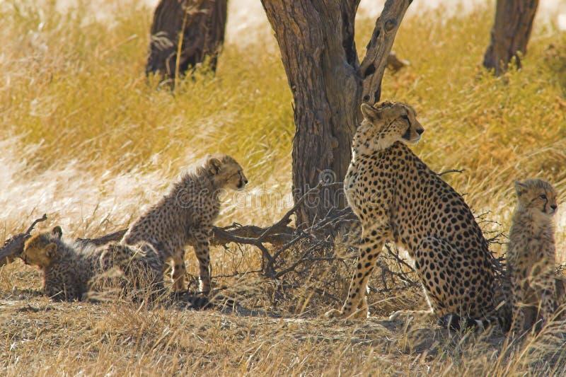 Guepardos en el desierto de Kalahari fotos de archivo libres de regalías