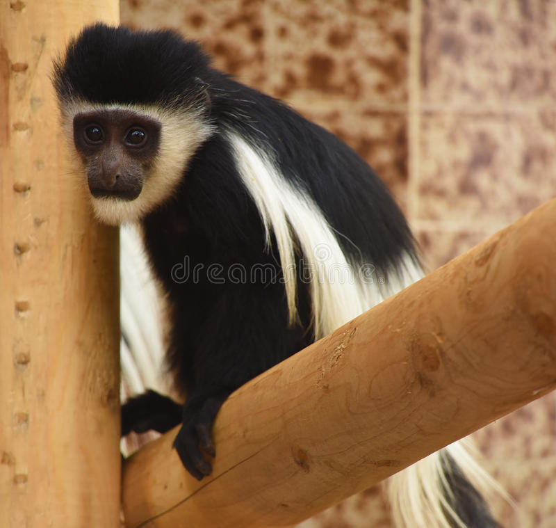 Guereza małpa obraz stock