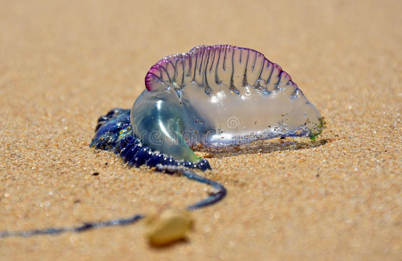Guerra portoghese dell'uomo O (moscone azzurro della carne) con spiaggia fotografia stock