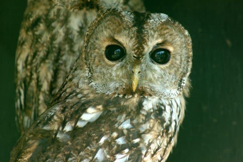 Download Gufo. immagine stock. Immagine di staring, wildlife, piuma - 222877
