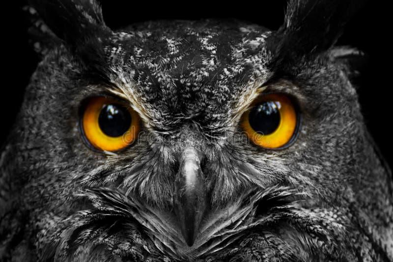 Gufo in bianco e nero del ritratto con i grandi occhi gialli immagine stock