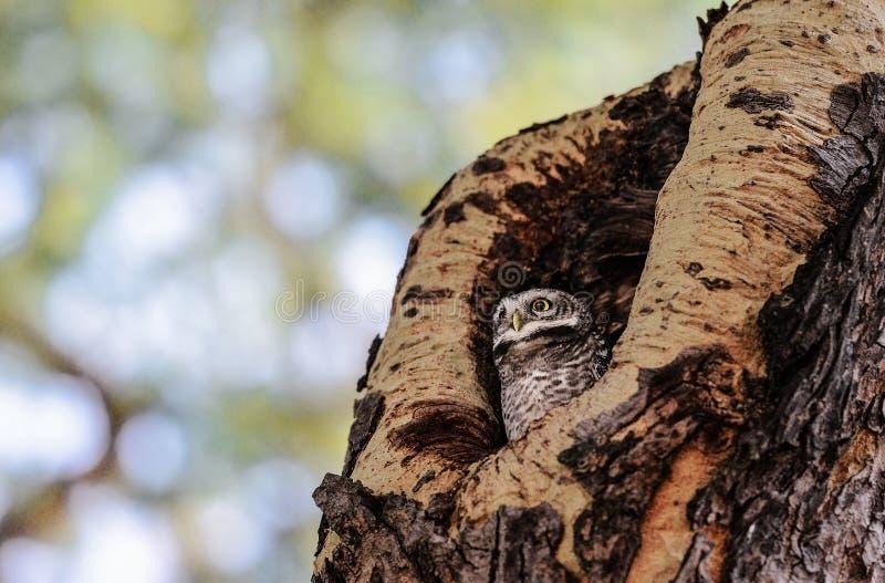 Gufo che si siede in un foro dell'albero, Bagan fotografie stock libere da diritti